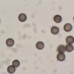 D. trachysporum x 1000