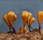 Myxomycetes