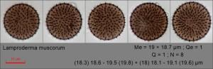 Lamproderma muscorum182.pixi