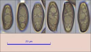 xerocomellus porosporus22.pixi